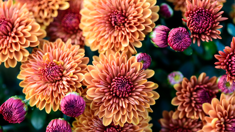 Dahlia | Landscapers in Dallas | Southern Botanical